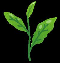 カフェインレス 緑茶 作り方